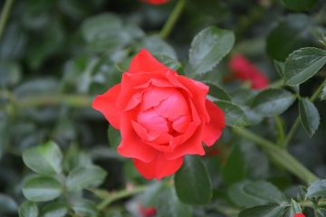 rose-bud-2573403__480